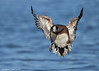 American Wigeon coming in to land.
