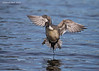 Northern Pintail on final.
