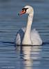 Mute Swan cobb