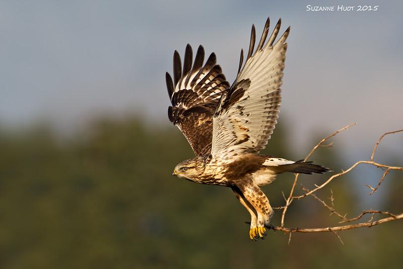 Take-off ,Rough-leggedHawk.