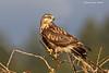 Alert Rough-legged Hawk.