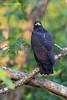 Mangrove Great  Hawk.