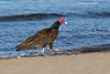 Turkey Vulture strut