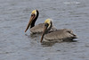 Adult Brown Pelicans.