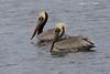 Adult Brown Pelicans.