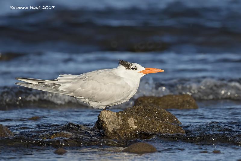 Royal Tern.