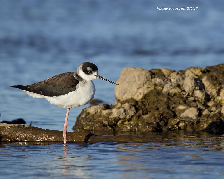 Black-necked Stilt  . Juvenile