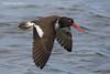 American Oystercatcher in flight.