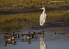 Great Egret in the company of American Wigeons and Blue-winged Teal
