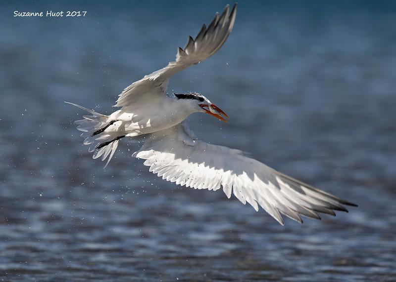 Elegant Tern with fish