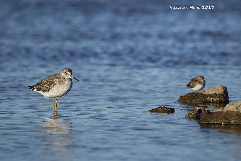 Lesser Yellowlegs.?