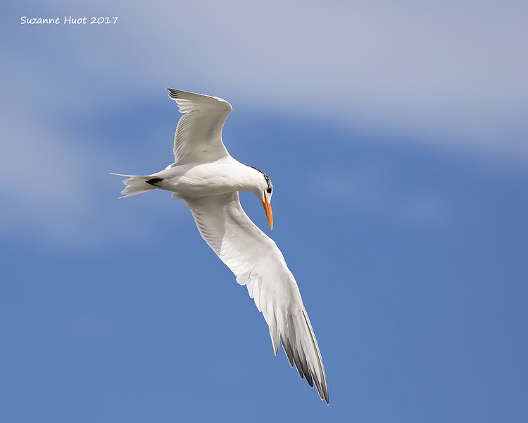 Elegant Tern on the hunt.