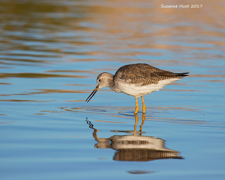 Yellowlegs foraging.