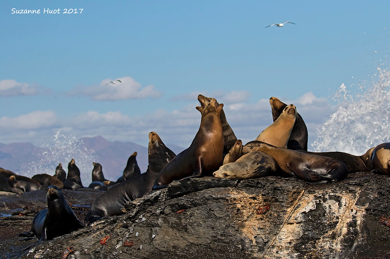 California Sealion  colony.  Coronado Island . Mexico.