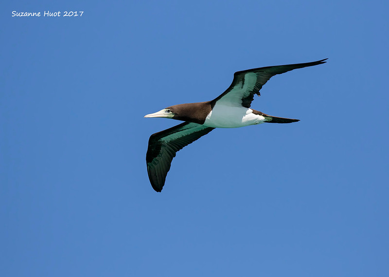 Brown Booby .
