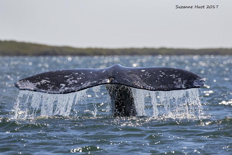Grey Whale sounding.