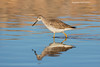 Yellowlegs reflection.