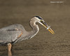 Great-blue Heron with snack.