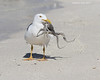 California gull with Octopus .