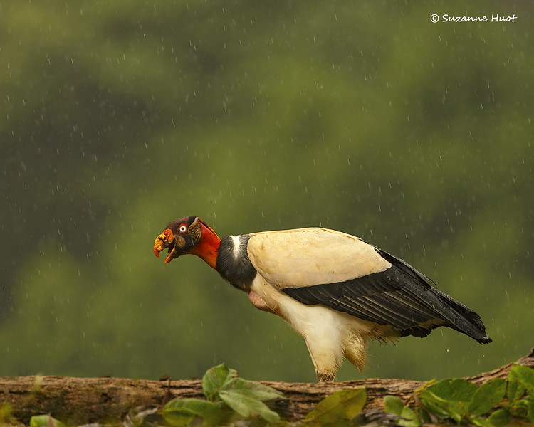 King Vulture in the rain