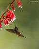 Magenta -throated Woodstar