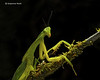 Leaf Praying Mantis