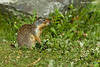 Gopher enjoying some fresh spring greens close to his burrow,