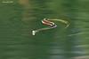 Garter Snake swimming.