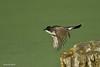 Eastern Kingbird in flight.
