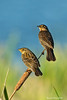 Pair of juvenile Blackbirds waiting to be fed by parents.