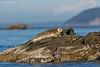 Harbor Seal  Sidney  B.C.