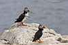 Puffin with nesting material ?