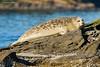 Harbor seal    Vancouver Island.