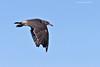 Heerman;s Gull.