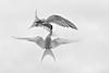Aerial combat .A pair of Arctic Terns .