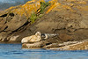 Harbor Seal with Pup.  Sidney  B.C.
