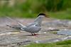 Arctic Tern displaying.  Farne Islands  .U.K.
