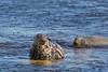 Grey Seal. Farne Islands .U.K