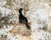 Pelagic Cormorant nesting.