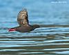 Pigeon Guillemot in flight.