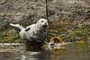 Harbor Seal at low tide.