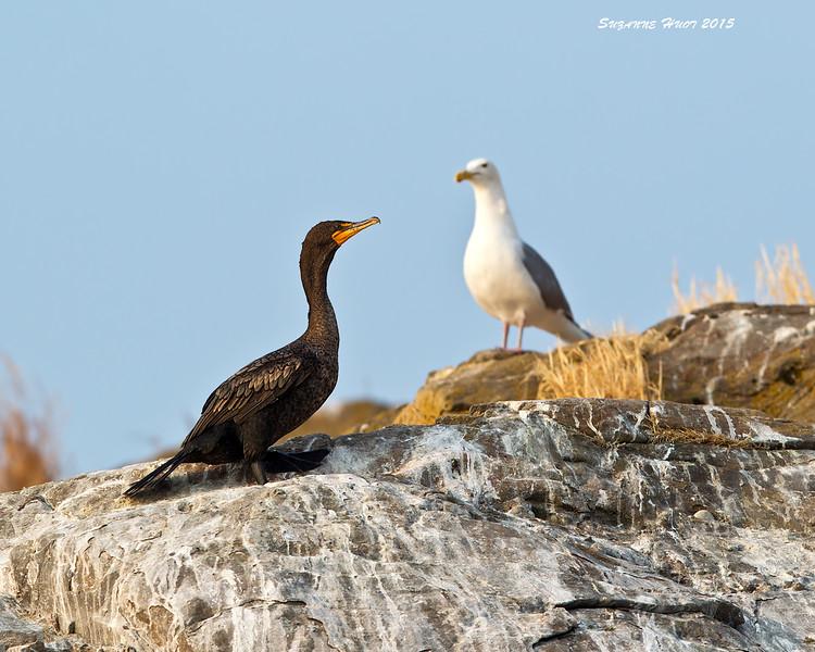 Double-crested Cormorant . Mandarte Island.