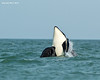 Orca spyhopping.
