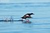 Pigeon Guillemot taking off.