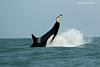 Orca Lobtailing.