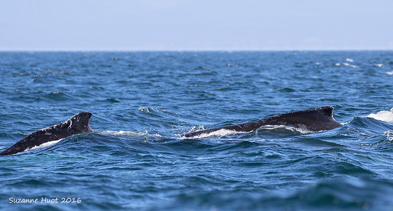 Humpback mother with young calf.