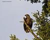 Juvenile Eaglet