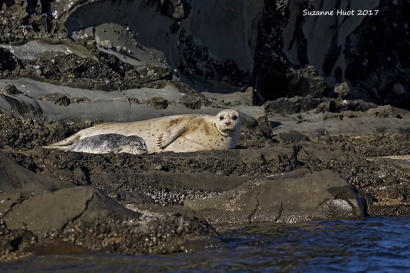 Harbor Seal with pup.