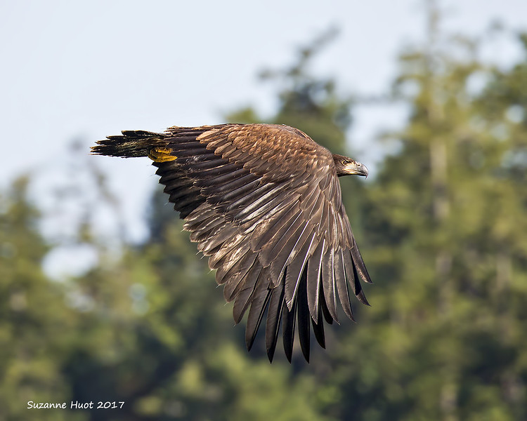 One of the three fledgling Eagles takes a short flight.