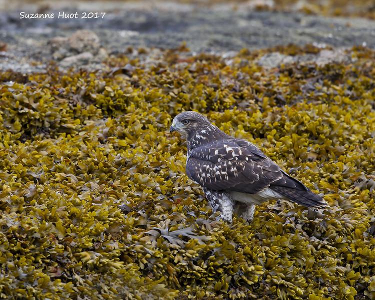 Red-tailed hawk beachcombing